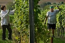 Dozrávání vína v Polešovicích.