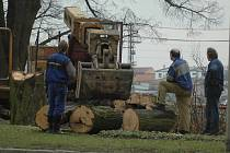 Kácení stromů na břehu Moravy v Uh. Hradišti.