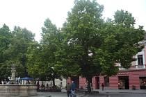 Lípy na Masarykově náměstí