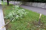 V Kunovicích se vandalové zaměřili i na výsadbu stromů. Výsledkem jsou například i polámané lípy či navrtaný a uhynulý dub na sídlišti.Zdroj: