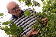 Bouřka a krupobití zasáhlo úrodu ve vinicích v Polešovicích.Vinař Jaroslav Vaďura prohlíží poškozené hrozny odrůdy Hibernal.