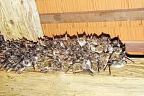 Kromě netopýrů ušatých a řasnatých sídlí v kostele i netopýr večerní.