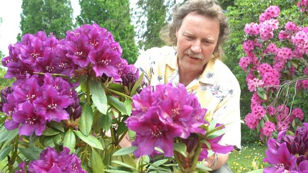 Kvetoucí keř Rododendronu.