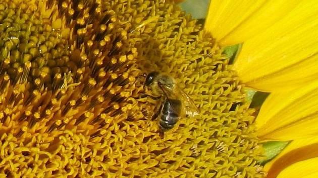 VČELKY LÉKÁRNICE. Pilné včeličky se starají o život na zemi i o naše zdraví.