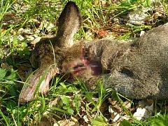 Útok psa nepřežila v minulém týdnu u Kostelan nejen dospělá srna, ale i mláďata, která jí v těle rostla. Chybělo přitom jen pár hodin a narodila by se živá.