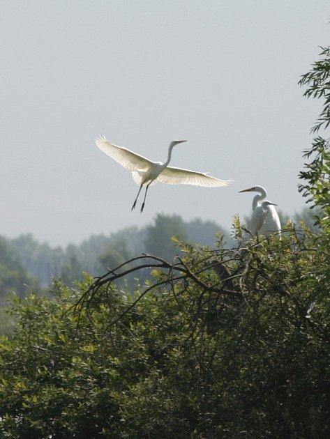 Na Slovensku navštívila skupinka hradišťských ornitologů i hnízdiště volavek bílých a stříbřitých.
