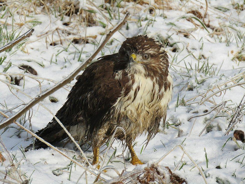 Zdeňka Svobodová pomohla omrznutému mláděti káně lesní do bezpečí.