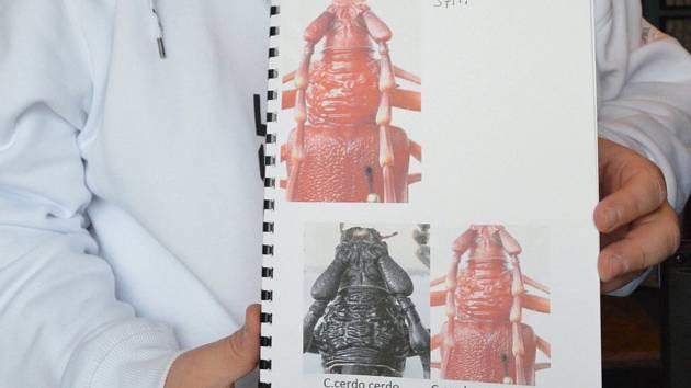 Poslední dva druhy tesaříků objevil sběratel letos v červnu ve Středomoří.
