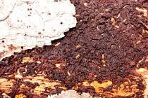 Lýkožrout dokáže na lesních porostech napáchat obrovské škody.