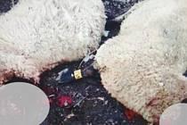 Potrhané ovce byly nalezeny v úterý 12. února v hradišťských Sadech.
