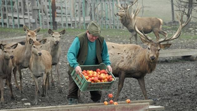 Zvěř se může přikrmovat i jablky.