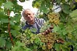 Vinobraní ve Šlechtitelské stanici vinařské v Polešovicích.