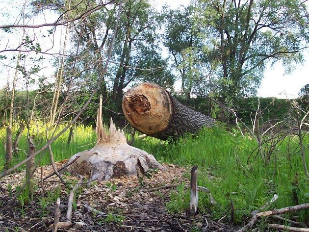 Detail spadlého stromu.