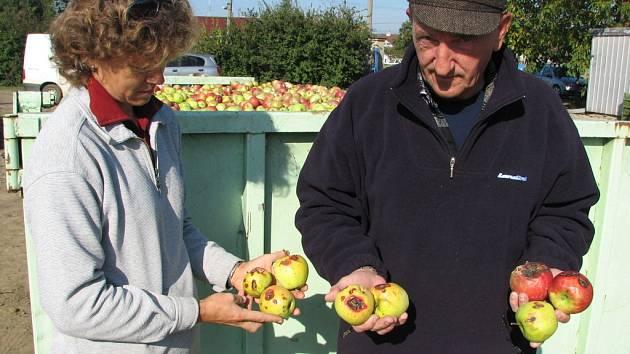 Jablka v nedakonických sadech poškodilo krupobití