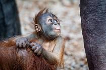 Už téměř pět měsíců bude mladému samci orangutana sumaterského Pustakawanovi, zkráceně Kawimu.