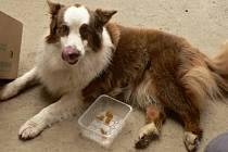 Pětiletá fenka australského ovčáka Brownie kulhala. Pomohla jí kloubní výživa Geloren dog.
