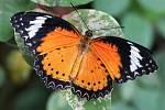 Trojská botanická zahrada slavnostně zahájila ve skleníku Fata Morgana v pořadí už sedmnáctou výstavu tropických motýlů.