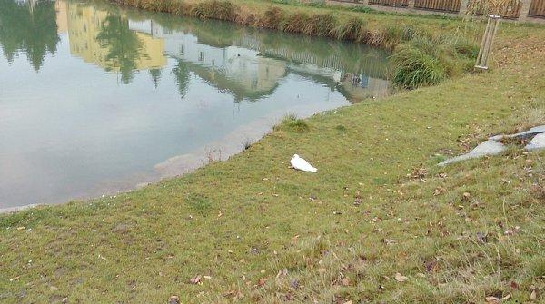 Postřelená kachna pižmová na břehu rybníka vNebušicích.