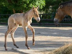 Hříbě koně Převalského narozené v pražské zoo je již druhým letošním přírůstkem do stáda.
