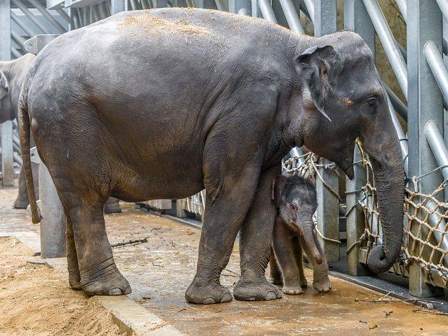 Sloní sameček v pražské zoologické zahradě škádlí tetu Tamaru.