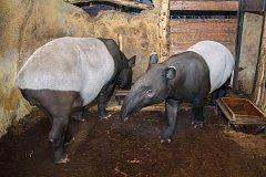 Samec tapíra čabrakového Budak Puntja.