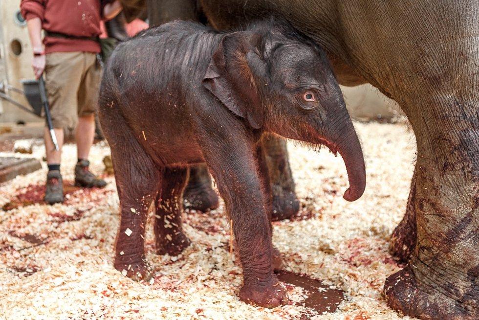 Úplně první fotografie novorozeného slůněte! Dnes po páté hodině ranní ji pořídil hlavní veterinář Zoo Praha.