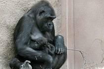 Gorilí samice Kijivu se svým mládětem Tatu.