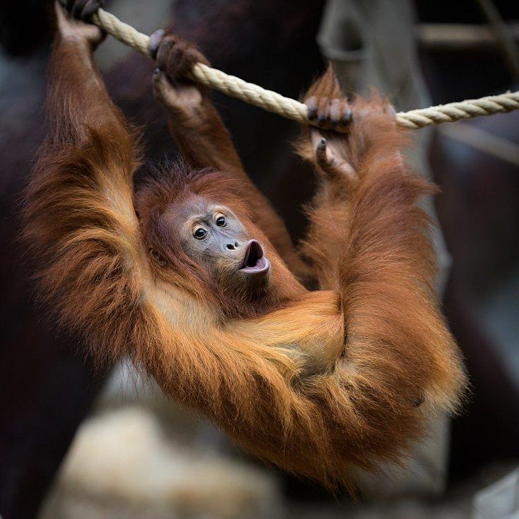 U primátů stimulují jejich pohybovou aktivitu mimo jiné vhodně umístěná lana. Orangutan sumaterský.