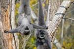 U primátů stimulují jejich pohybovou aktivitu mimo jiné vhodně umístěná lana. Giboni stříbrní.