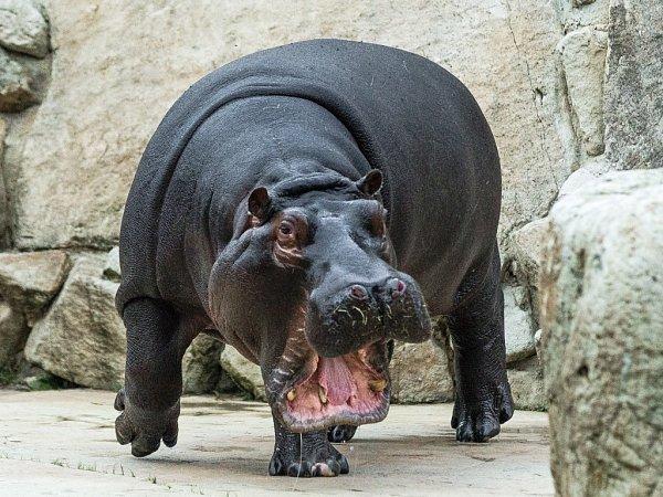 Pražská zoo chová hrochy obojživelné od roku 1933.První mládě se podařilo úspěšně odchovat vroce 1977.