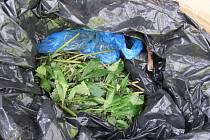 V zavazadlovém prostoru našli celníci krabici obsahující čtyři igelitové pytle s čerstvě sklizenými zelenými částmi rostlin konopí