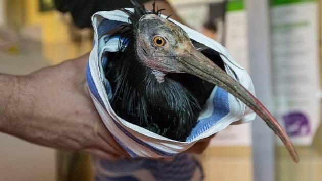 Kontrola odchyceného ibise skalního v pražské zoologické zahradě.