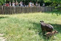 Sameček tapíra jihoamerického, narozený 19. května 2015, dostal jméno Toby.