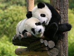 Panda velká patří mezi nejatraktivnější a nejznámější zvířata na světě.