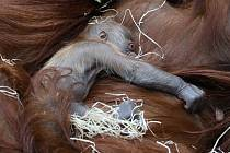 V pražské zoo se 17. listopadu 2020 samičce orangutana sumaterského Mawar narodilo mládě.