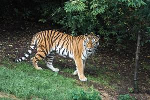 Zoo Praha má novou tygřici.