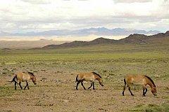 Koně v Khomiin Talu