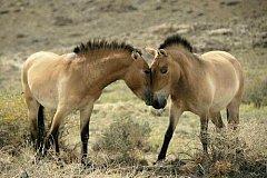 Pražští koně v Khomiin Talu