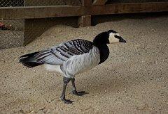 Severský pták se zatoulal do Česka, měl zlomenou nohu.