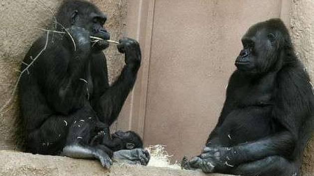 Život v pavilonu goril se vrací do běžných kolejí.