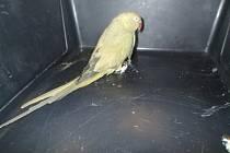 Papouška členové hlídky sami chytili a předali přivolaným kolegům z odchytové služby.