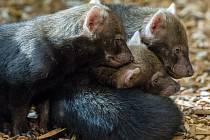 Štěňata psů pralesních se narodila 10. července 2014 a mají se čile k světu.