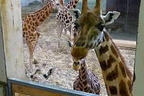 Žirafy v pražské zoologické zahradě.