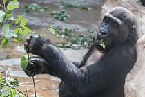V Zoo Praha si gorily zítra pochutnají na větvích, které polámala vichřice.