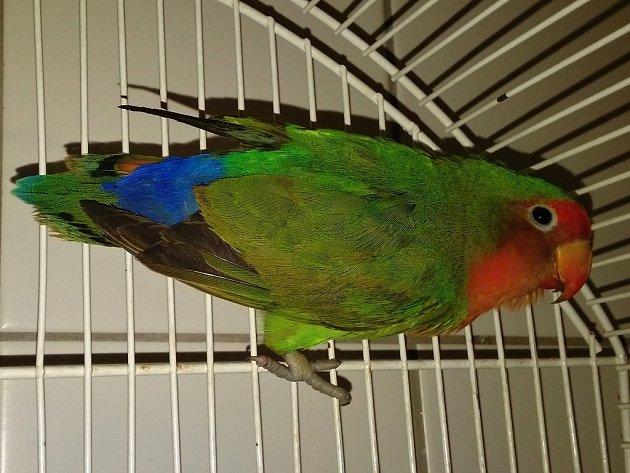 Sameček papouška rodu Agapornis, který uletěl svému chovateli.