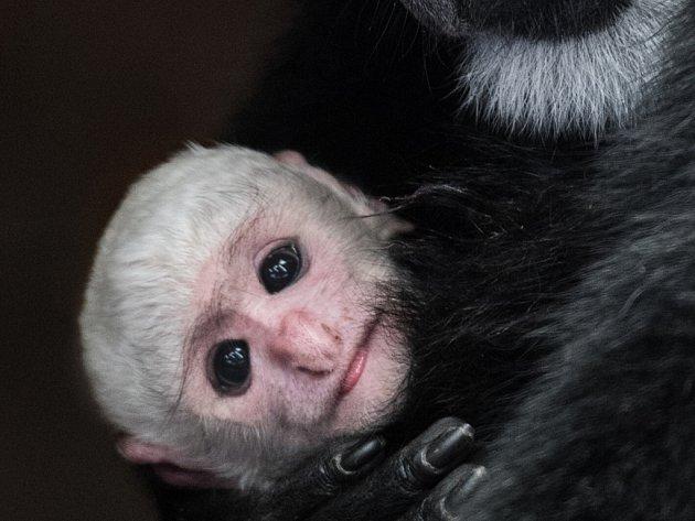 Zoo Praha se může pyšnit mládětem guerézy pláštíkové.