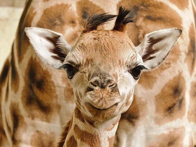 70. žirafa narozená v Zoo Praha.