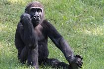 Jedním z nedělních oslavenců v Zoo Praha bude pětiletý samec gorily nížinné Nuru.