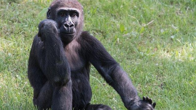 Slavnostní zahájení stavby gorilího pavilonu v pražské zoo