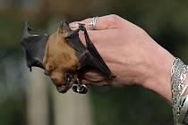 Více než stovku netopýrů vypustili pracovníci záchranné stanice pro volně žijící živočichy v pražské Královské oboře. Vzbuzeni byli začátkem února ve světlíku rekonstruovaného činžáku v Libni.